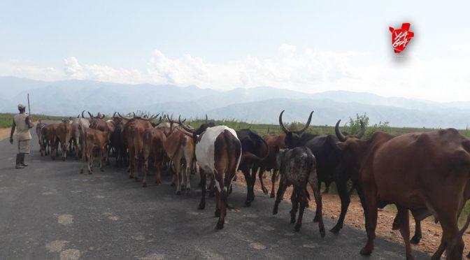 « Kuvyukiriza inka » : umugirwa utamenyerewe mu Burundi